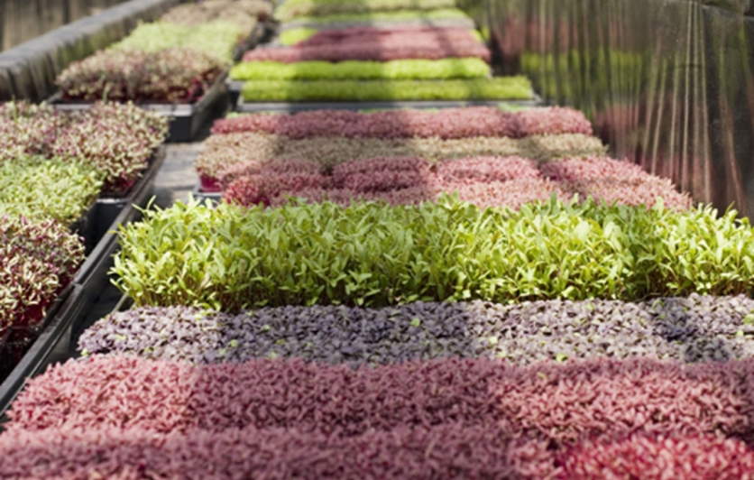 Microgreens at Farming Turtles in Exeter, RI