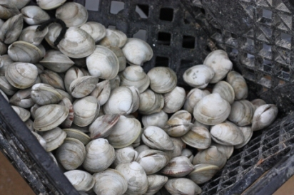Clams from the Rhode Island coast