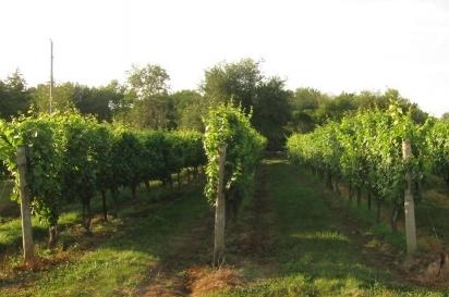 Vines at Jonathan Edwards Vineyards
