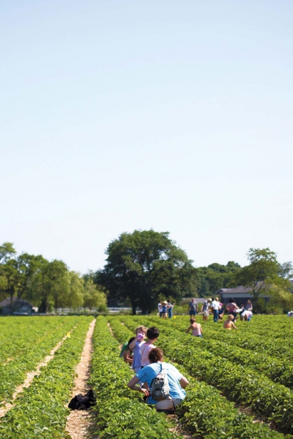 Picking strawberries at Quonset View Farm