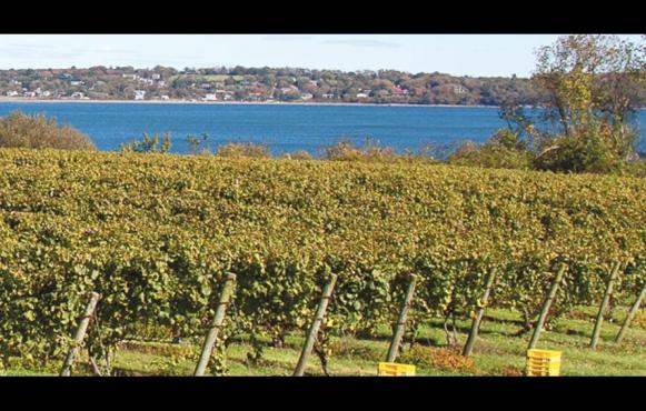 Grape vines at Greenvale Vineyards