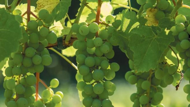 Wine grapes at Nickle Creek Vineyards