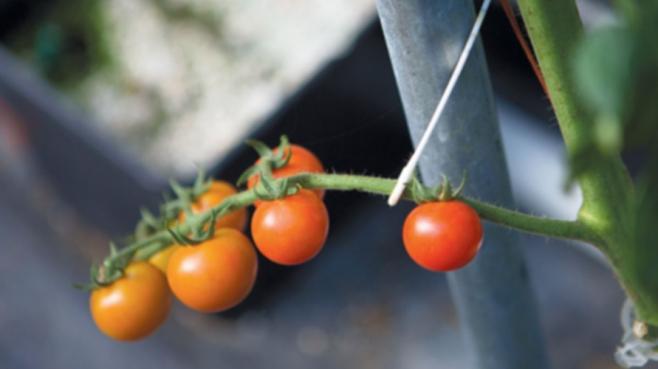 Tomato vines in the greenhouse in winter