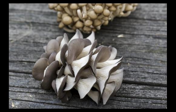 Blue Oyster Mushrooms